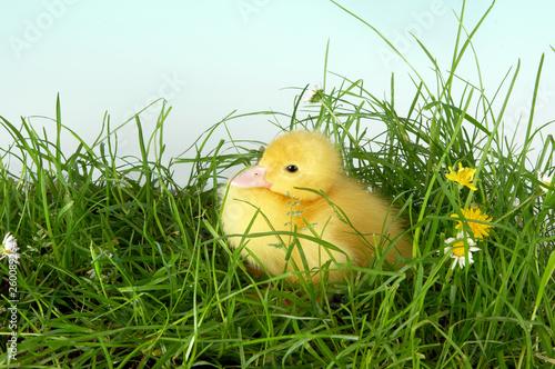 Photo  Sitting duck in grass