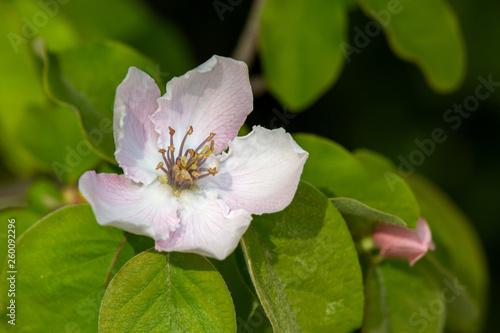 Foto Macrophotographie de la fleur du cognassier (Cydonia oblonga)