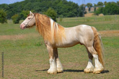 Fototapeta Cremello pinto Irish cob stallion stands in field in summer. Horizontal, side view, exterior. obraz