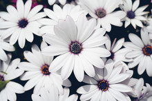 African Daisies, Osteospermum, Pink And White Lilac Colour