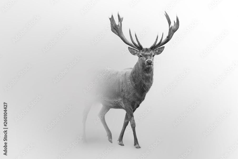 Fototapeta Deer nature wildlife animal walking proud out of the mist
