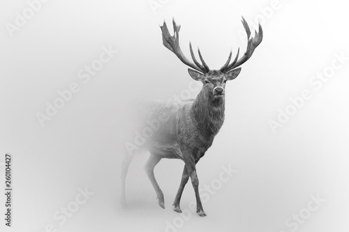 Fotografie, Obraz  Deer nature wildlife animal walking proud out of the mist