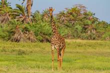 Masai Giraffe (Giraffa Tippels...
