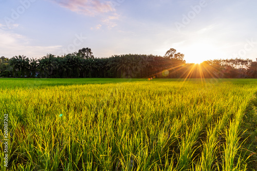 Foto op Canvas Cultuur Rice field with sunrise or sunset and sunbeam flare