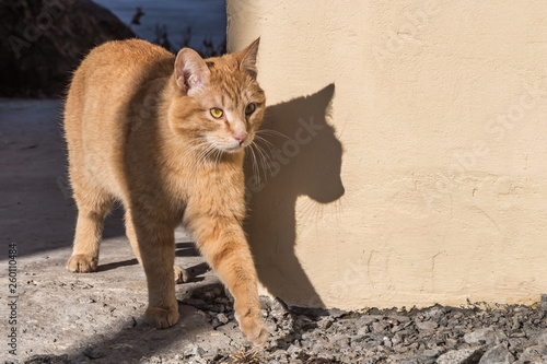 Fotografia  Beautiful bright red cat with yellow eyes and pink nose goes along yellow wall w
