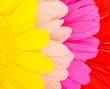 Leinwandbild Motiv Colored gerbera flowers