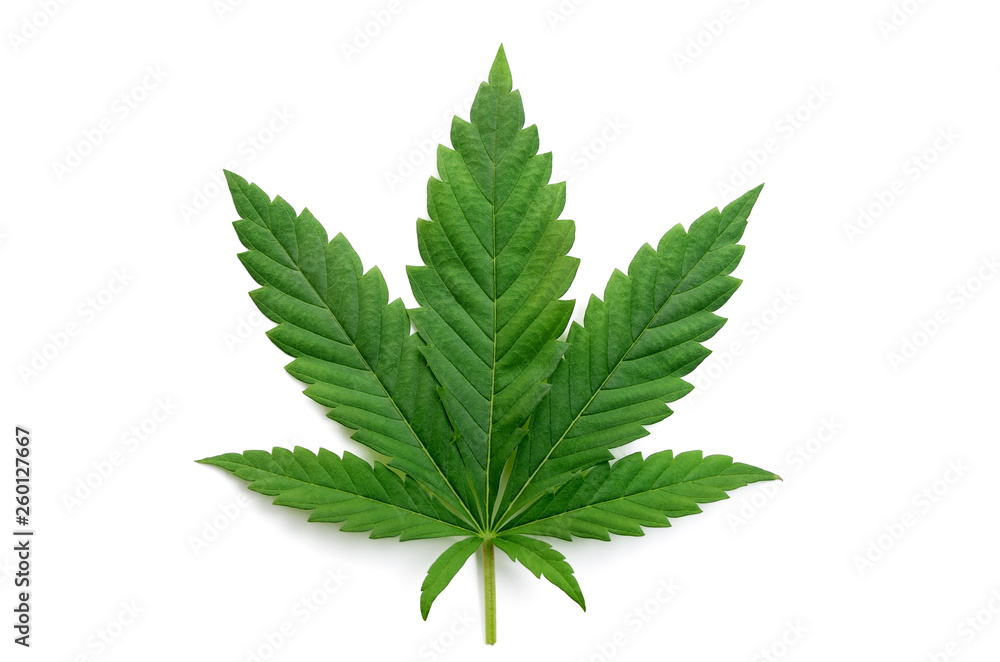 Fototapety, obrazy: Green cannabis leaves isolated on white background. Growing medical marijuana.