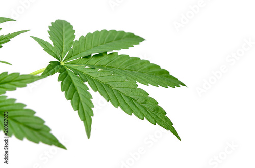 Vászonkép Green cannabis leaves isolated on white background