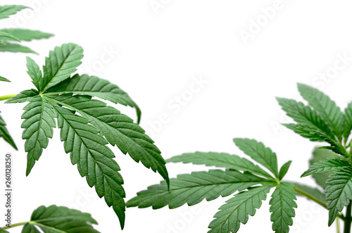 Photo  Green cannabis leaves isolated on white background