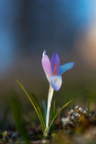 Close up of purple and blue crocus on sunny day in early spring - 260129425