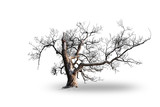 Willow tree in snow isolated on white - 260129844
