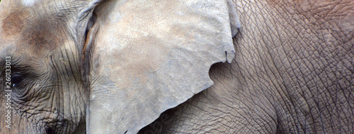 Poster Rhino African elephants are elephants of the genus Loxodonta. The genus consists of two extant species: the African bush elephant, L. africana, and the smaller African forest elephant,