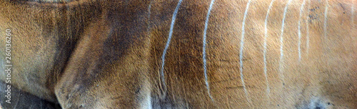 Spoed Fotobehang Antilope Skin ocommon eland, also known as the southern eland or eland antelope, is a savannah and plains antelope found in East and Southern Africa. It is a species of the family Bovidae and genus Taurotragus