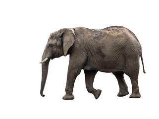 Big grey walking elephant isolated on white background.