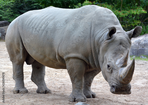 Photo The white rhinoceros or square-lipped rhinoceros is the largest extant species of rhinoceros