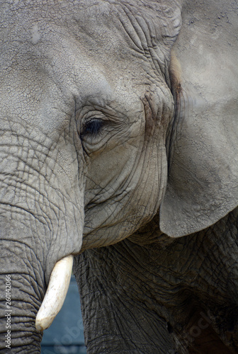 African elephants are elephants of the genus Loxodonta Canvas Print