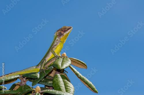 Valokuva Colorful lizard with blue sky in Sri Lanka