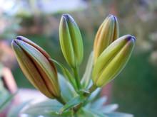 Unopened Flower Beauty