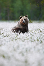 Brown Bear (Ursus Arctos) Walk...