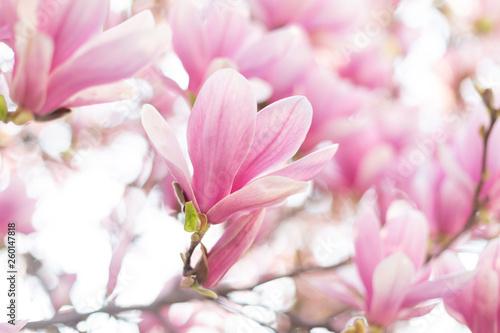Obrazy Magnolie  koncepcja-wiosny-kwitnacy-kwiat-magnolii