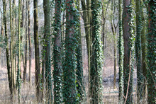 Forest Landscape With Trees Overgrown With Green English Ivy Or Hedera Helix
