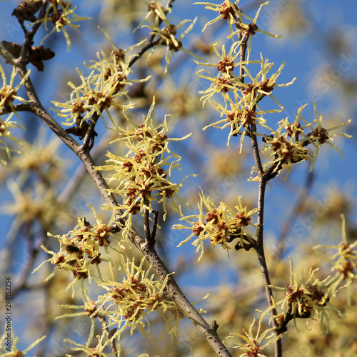 Branch Of Hamamelis Japonica Or Japanese Witch Hazel With Yellow