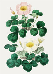 FototapetaOxalis in pink and white