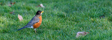 Spring Panorama, American Robin Feeding In A Lush Green Lawn With Some Remaining Fall Leaves