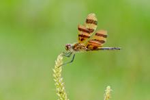 Halloween Pennant Dragonfly On...