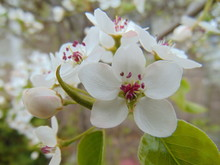 White Flowers Of Bradford Pear Tree