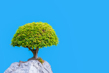 Bonsai Banyan Tree Growing On The White Rock Isolated On Blue Background