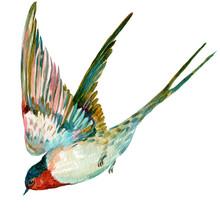 Bird Swallow,watercolor Illustration