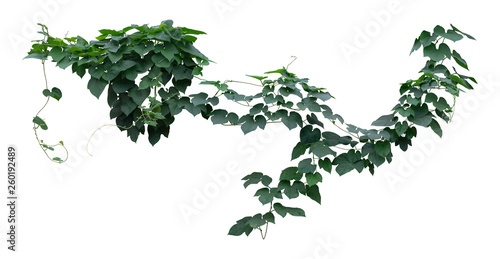 Photo Vine plants, Greenery leaves isolated on white background have clipping path