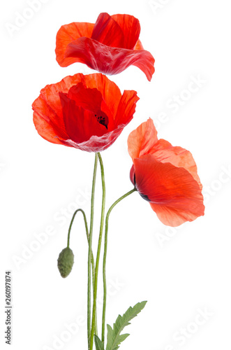 bouquet of red poppies isolated on white background.