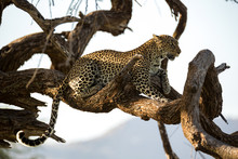 A Leopard Rests On The Brach O...