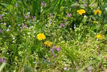 タンポポ、ホトケノザ、オオイヌノフグリ、ナズナ、春の野草