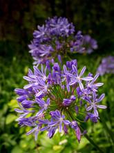 Mehrere Agapanthus Liliaceae Blumen