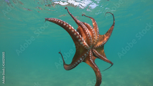 Fotografie, Obraz  Underwater photo of octopus in tropical turquoise sandy bay with turquoise clear