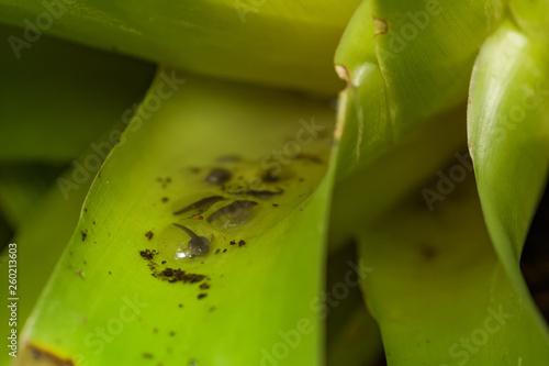 Valokuvatapetti Poison dart frog tadpoles in a bromeliad