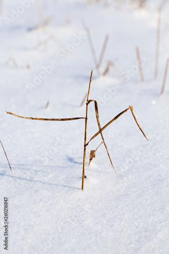 Fotografia  Sticking snow stalks