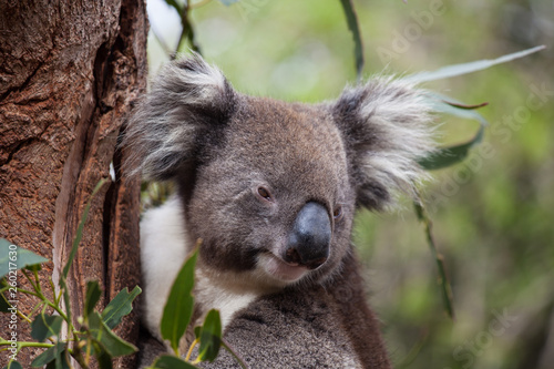 Canvas Prints Koala Portrait cute Australian Koala Bear sitting in an eucalyptus tree and looking with curiosity. Kangaroo island.