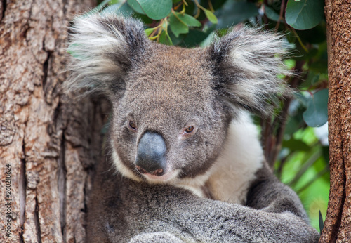 Photo Portrait cute Australian Koala Bear sitting in an eucalyptus tree and looking with curiosity