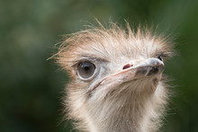 Ostrich In A Zoo In Italy
