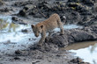 canvas print picture - Young leopard cub at a waterhole in the Sabi Sands Game Reserve, Mpumalanga, South Africa.