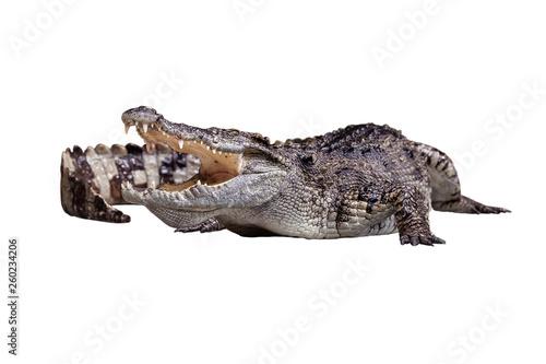 Fotobehang Krokodil An open mount crocodile crawling