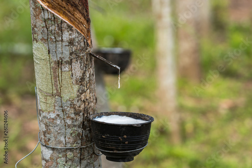 Fotomural Rubber tree with natural rubber drop at plantation