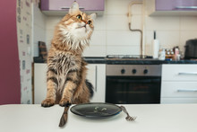 The Cat At The Table Waiting For Food. Cat Breed Norwegian Forest. The Cat Looks Away.