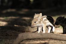 Baby-Wildschweine Im Wald