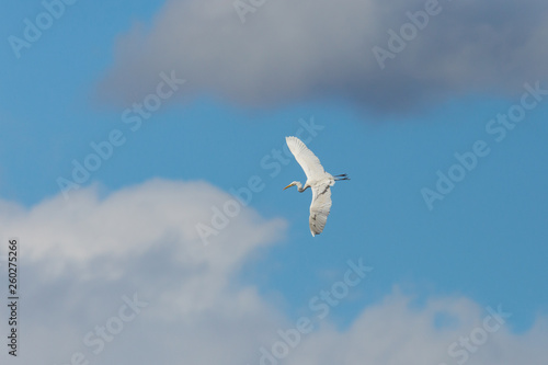 Fotografía  great white egret (egretta alba) flying through cloudy sky, spread wings