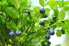 Ripe Berries Of Bilberry Grow In Forest. Harvesting Whortleberries
